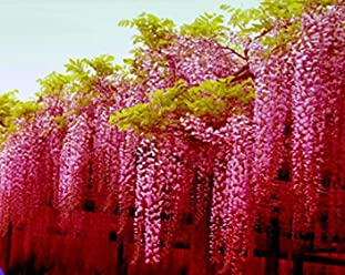 ADB Inc 2016 Rare Heirloom Pink Wisteria Garden Beautiful Climbing Shrub