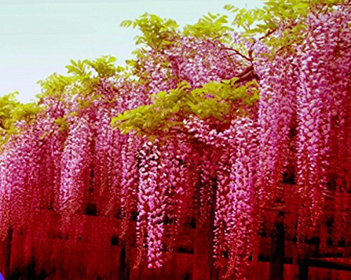 ADB Inc 2016 Rare Heirloom Pink Wisteria Garden Beautiful Climbing Shrub