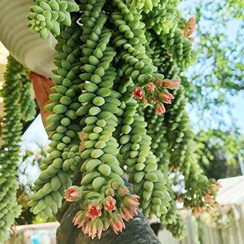 Donkey Tail Succulent - Sedum Morganianum - aka Burro's Tail - 8 rooted leaf