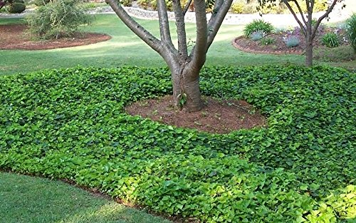 ENGLISH IVY plant 30 Live rooted cuttings evergreen ground cover Hardy Vines