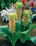 Van Zyverden P. Allen Smith Selection - Eucomis BI-Color -Set of 5 Bulbs, White