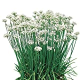 Burpee Garlic Chives Seeds 300 seeds