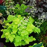 HEIRLOOM Lime Rickey Heuchera Coral Bells 50 seeds VERY RARE