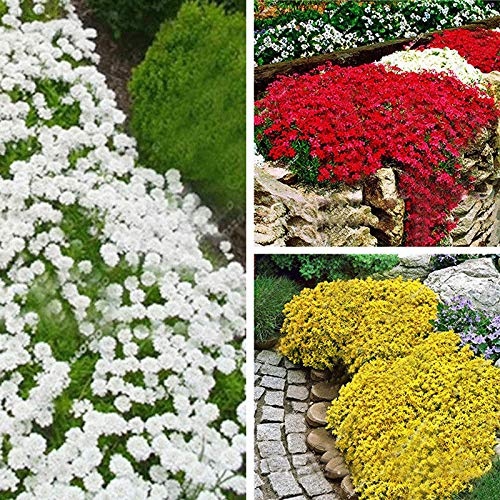 Yellow: b551 228f 9350 100pcs Rare beautifying Yard for sale  Delivered anywhere in USA