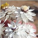 Syncarpha paniculata - Strohblume - 10 Samen