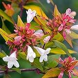 Bronze Anniversary™ Abelia grandifolia 'Rika1' PP20,568 - Bronze/Orange Color - Proven Winners