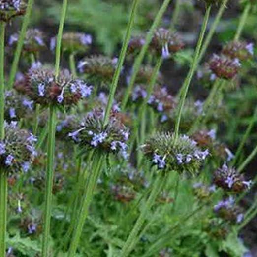 Crown Jewels Chia Seeds (Salvia columbariae) 200+ Ancient ...