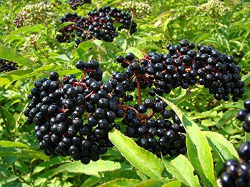(Ranch Elderberry Perennial Shrub - Sambucus - 3.25