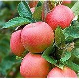 ALBERO DI MELO ROSA 'PINK LADY' - pianta vera da frutto da esterno