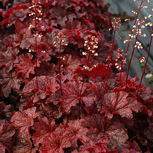 (heuchera Cajun FIRE red villosa hot Coral Bells 2.5