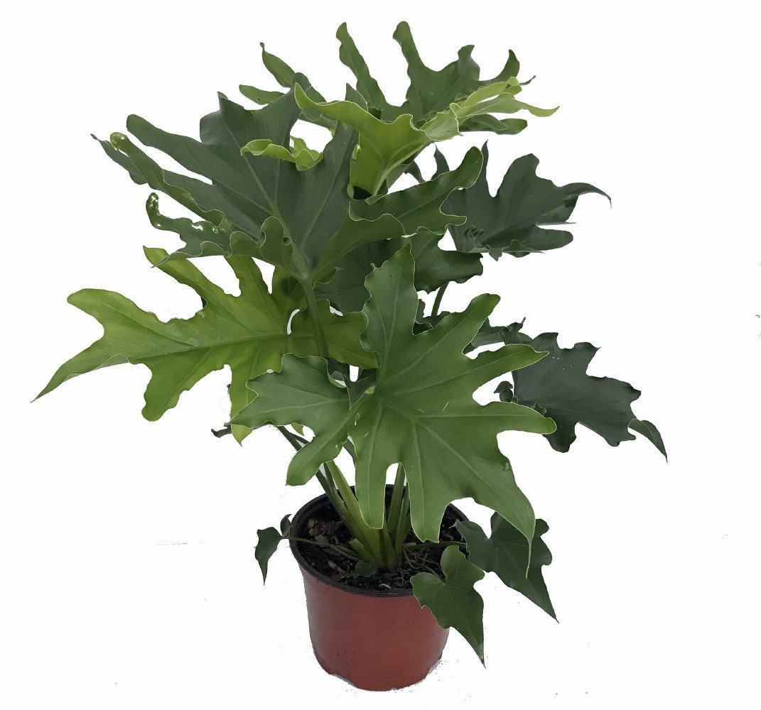 Picture of Live Philodendron Lickety Split Plant Fit 1 Gallon Pot