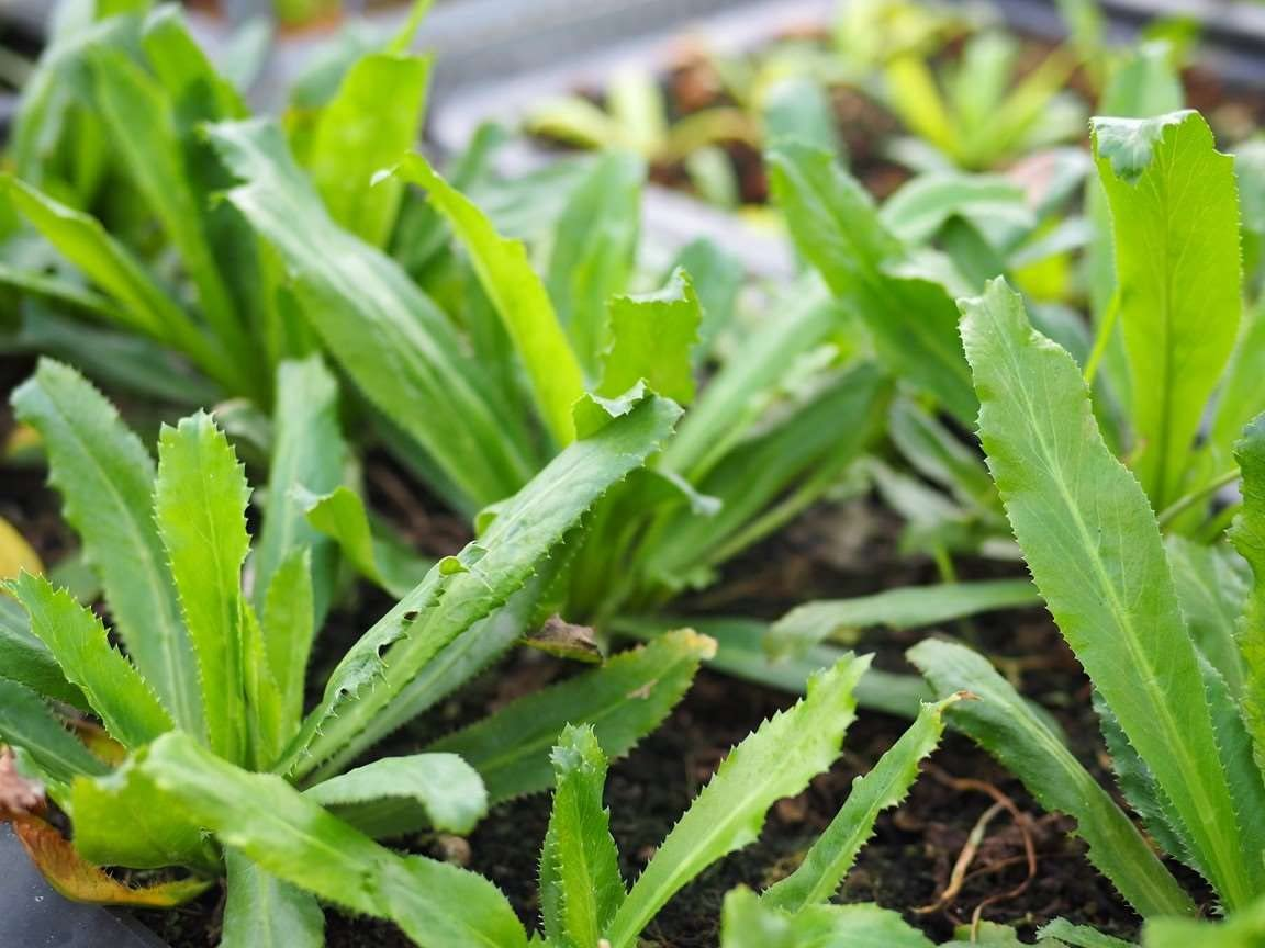August  2020 200++  Seeds CULANTRO Ngo Gai USA Eryngium Foetidum  parley