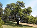 California Coast Oak Tree Quercus Agrifolia Live Evergreen Acorn Tree 7-10 Inches Cold Hardy Drought Resistant Easy-to-Grow Ready for Planting (3 Plant Pack)