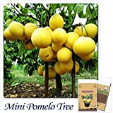 Solution Seeds Farm New Rare 10 Seeds Hardy Mini Pummello Pomelo Tree Seeds Dwarf Kao Pan Grape Fruit Seeds! Rare Seeds (Not Plants or Tree) SEEDS