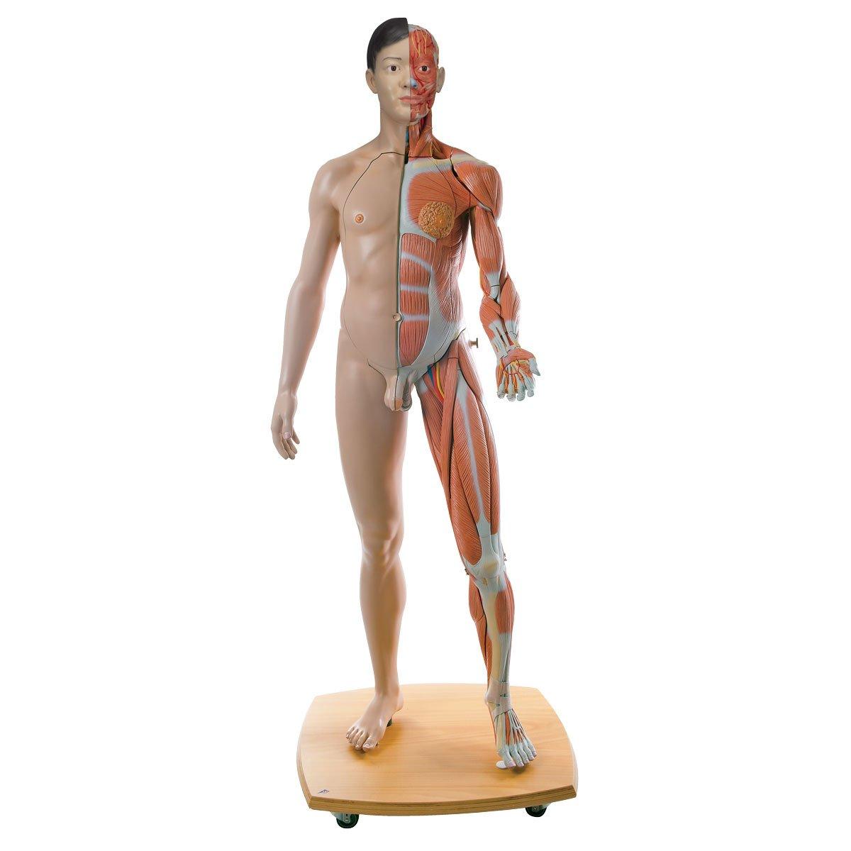 筋肉解剖等身大両性型39分解モデル,アジア仕様   B00D04QI5Y