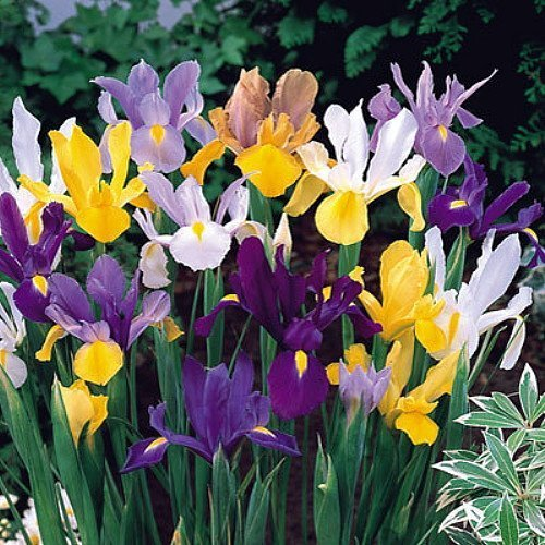 100 Dutch Iris Bulbs, Mixed---perfect for Fall Planting! End of Season Pricing!!