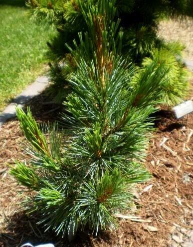 (Dwarf Swiss Stone Pine - Pinus cembra 'Tip Top' - 2 - Year Live Plant )