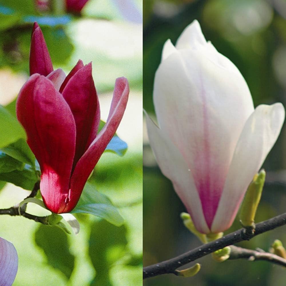 Magnolia soulangeana dans 9 cm pot