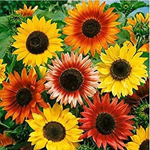 10 Pound Seeds of Sunflower Autumn Beauty