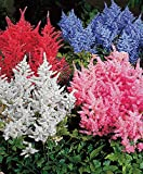 Earth Seeds Co 100 Pcs Astilbe Mixed Seeds,Mixed Colors Dramatic Effect,Hardy Perennial Flower Plants Seeds for Garden