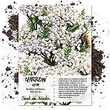 Seed Needs, White Yarrow (Achillea millefolium) 500 Seeds