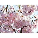 Japanische Blütenkirsche 'Kanzan' - Prunus serrulata Kanzan - Containerware 100-150 cm - Garten von Ehren®