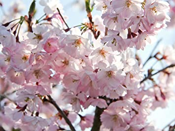Garten Ehren japanische blütenkirsche kanzan prunus serrulata kanzan