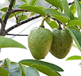 10 Seeds Annona glabra Pond Apple Fruit Tree