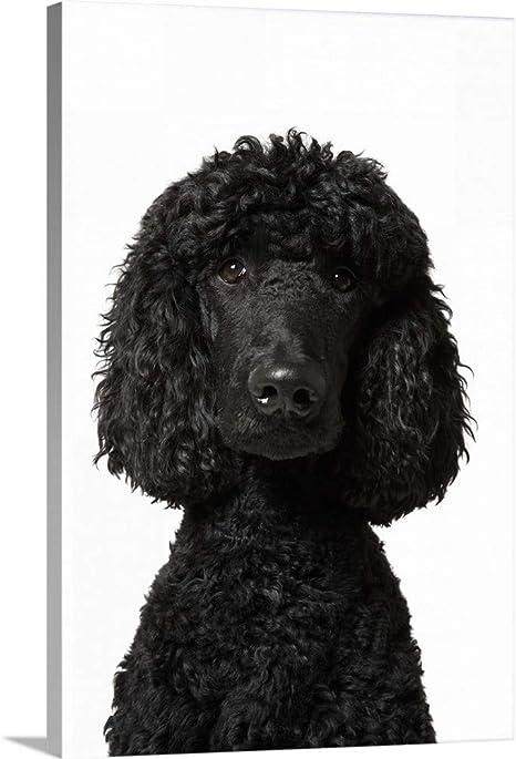 Framed Print Black poodle
