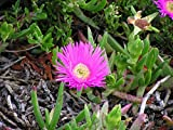 Carpobrotus edulis - The Hottentot Fig - 25 Seeds