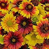Gaillardia - Mesa Mix - 20 Seeds