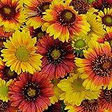 Gaillardia - Mesa Mix - 20 Seeds