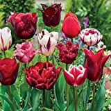 SILKSART 10 BULB Tulip Bulbs Perennial Bulbs for Garden Planting MIXTURE - Size 12+cm - FALL SHIPPING & PLANTING