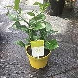Citrus hystrix / Kaffir Lime Espalier : 1L Pot : 25-30cm High (exc pot)