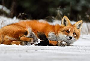 Red Fox Lying On Snow Art Print Canvas Poster,Home Wall Decor(24x36 inch)