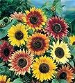 All Sorts Mix Sunflowers, 25+ Premium Heirloom Seeds, ON SALE!, (Isla's Garden Seeds), 99.38% Purity, 90% Germination, Highest Quality!