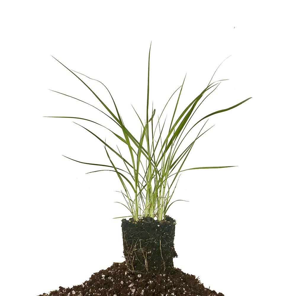 Pampas Grass Qty 15 Live Plants Cortaderia Selloana Showy Blooms by Florida Foliage (Image #6)