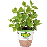 Bonnie Plants 5109 Spearmint Herb Plant