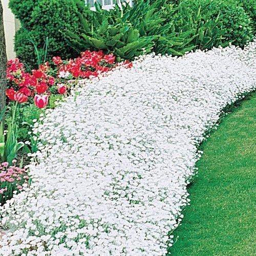 The Dirty Gardener Cerastium Tomentosum Snow in Summer Flowers 75+ seeds