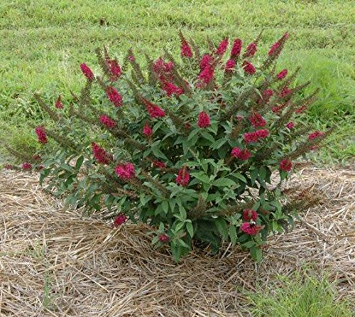 Miss Molly Red Butterfly Bush - Proven Winners - Live Plant - Quart (Butterfly Bush Shade)