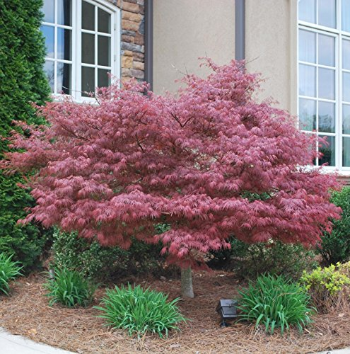 Bloodgood japanese maple trees patio and furniture for Maple trees for sale