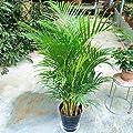 KOUYE GardenSeeds- Rare Areca Tree Seeds Chrysalidocarpus Lutescens Seeds Bonsai Areca Palm Seeds Exotic Seeds for Patio, Balcony, Garden