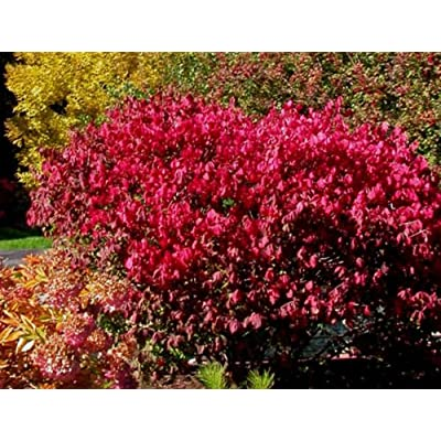 Wahoo Burning Bush, Euonymus atropurpurea Seeds (Showy, Fall Color, Hardy) (60) : Garden & Outdoor