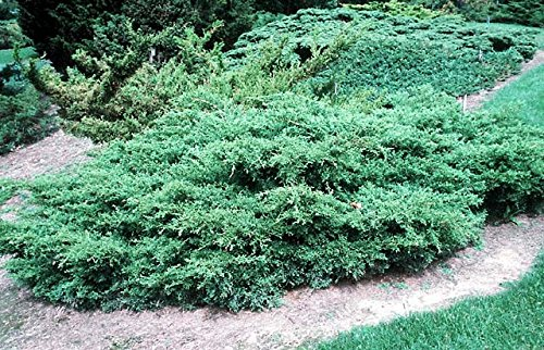 Kallay Juniper Qty 60 Live Plants Groundcover by Florida Foliage (Image #2)