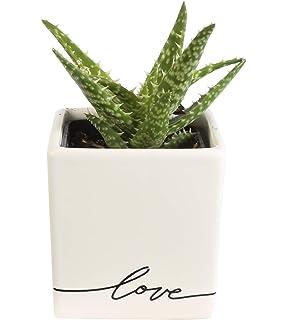 Amazon com: Costa Farms Live Hoya Heart, Succulent-Like