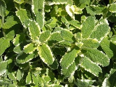 """(HEMI)~""""PINEAPPLE MINT""""~Seeds!!~~~~~~~Delicious Varigated Leaf!!"""