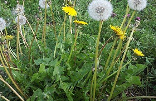 JustSeed - Wild Flower - Dandelion - Taraxacum officinale - 1000 Seeds - Tortoise Food Just Seed