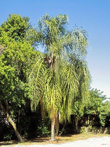 Palm 10 Seeds - 10 Seeds Syagrus romanzoffiana Queen Palm
