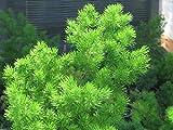 20 Seeds - Ming Fern Seeds - Asparagus-myriocladus Rare ornamental asparagus