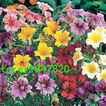 Amazon com : GGG Hot Selling Rare Salpiglossis Seeds Chile Morning